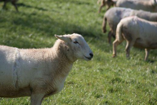 John Crisp's sheep on a visit by Grown in Totnes